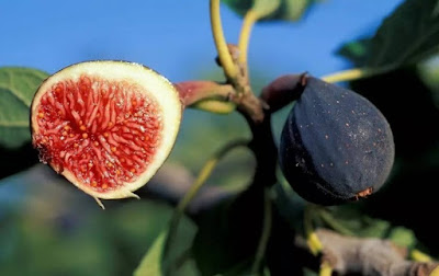 How to cultivate a Fig Fruits