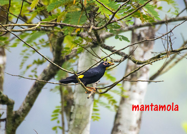 Golden-crested myna