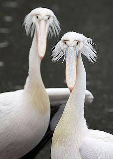 Pelican | A-Z List of 125 Rare Albino Animals [Pics]