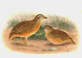 Red chested Buttonquail