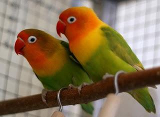 cara membedakan lovebird jantan dan betina umur 2 bulan,lovebird jantan atau betina untuk lomba,paruh lovebird betina,perbedaan lovebird jantan dan betina saat birahi,