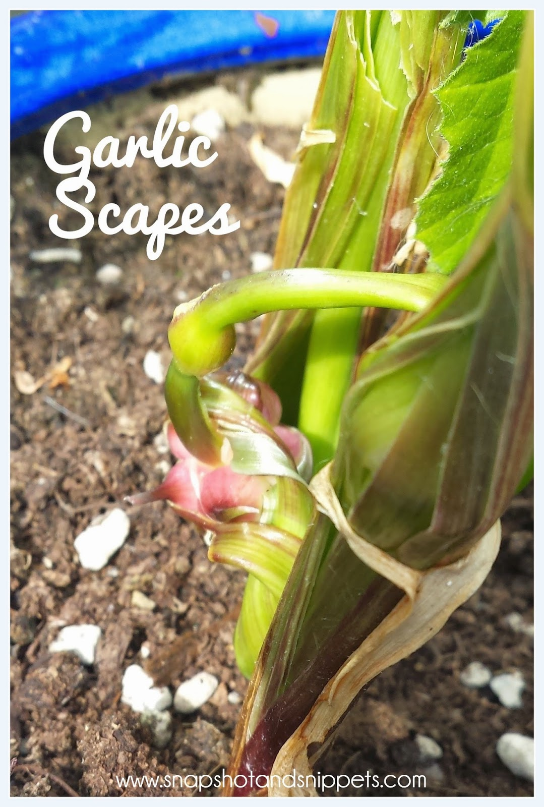 What are Garlic Scapes