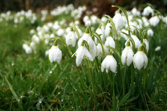 Snowdrops in Cumbria