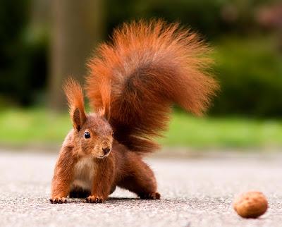 Tiere - Eichhörnchen mit einer Walnuss