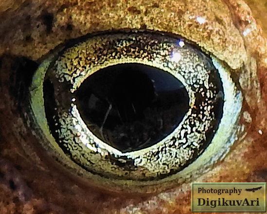 Ruskosammakko, silmä,Rana temporaria