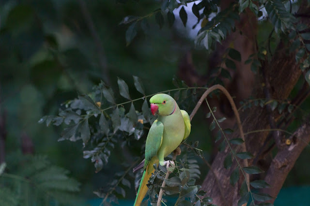 Canon 100D Rebel SL1 Photography Indian Ringneck India