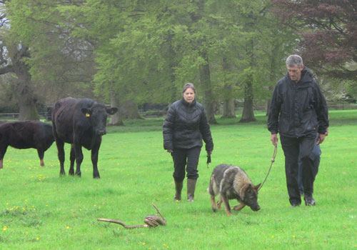 A German Shepherd on the lead walking through a field of cattle