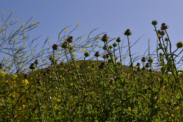 thistles and mustard above