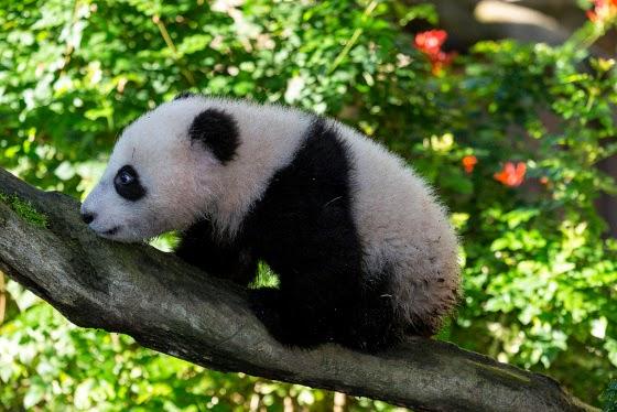 Fotografia osito panda en un arbol