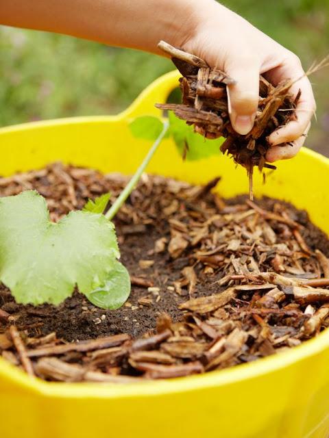 Como plantar abobrinha - Passo 3