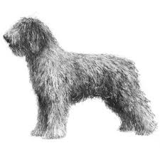 Anjing Ras Spanish Water Dog