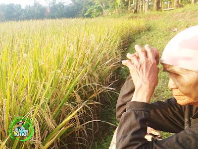 FOTO 3 : Padi SERTANI 1 MODIF daun bendera tegak rimbun   sehingga aman dari burung pipit.   Lokasi Subang - Jawa Barat