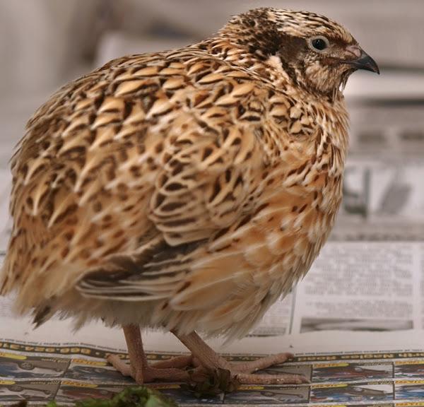 chim cút nhật bản, về chim cút nhật bản, chim cút nhật bản, ngoại hình chim cút nhật bản, giống chim cút nhật bản, thông tin giống chim cút nhật bản, sự thật về giống chim cút nhật bản, hành vi chim cút nhật bản, chăm sóc chim cút nhật bản, chăm sóc chim cút nhật bản, màu sắc chim cút nhật bản, đặc điểm chim cút nhật bản, chim cút nhật bản sự phát triển, trứng cút Nhật Bản, Sự thật về chim cút Nhật Bản, Chim cút Nhật Bản làm thịt, Chim cút Nhật Bản lấy thịt, Trang trại Chim cút Nhật Bản, Nuôi chim cút Nhật Bản, Lịch sử Chim cút Nhật Bản, Thông tin Chim cút Nhật Bản, Hình ảnh Chim cút Nhật Bản, Thịt Chim cút Nhật Bản, Nguồn gốc Chim cút Nhật Bản, Chim cút Nhật Bản ảnh, hình ảnh chim cút Nhật Bản, độ hiếm của chim cút Nhật Bản, nuôi chim cút Nhật Bản, nuôi chim cút Nhật Bản, kích thước chim cút Nhật Bản, tính khí chim cút Nhật Bản, thuần hóa chim cút Nhật Bản, sử dụng chim cút Nhật Bản, giống chim cút Nhật Bản, trọng lượng chim cút Nhật Bản, sản xuất trứng cút Nhật Bản