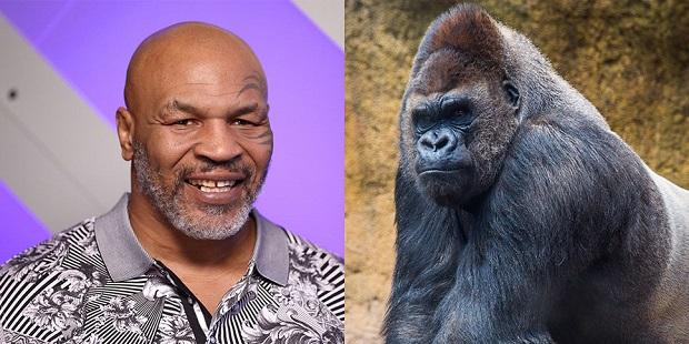 Vidéo - Le jour où Mike Tyson a failli se battre avec un gorille
