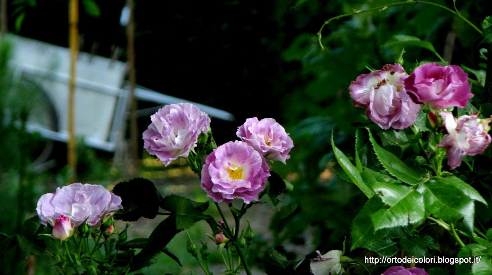 Rose Rampicanti Senza Spine l'orto dei colori