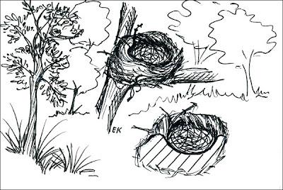 Zorzal plomizo Turdus nigriceps