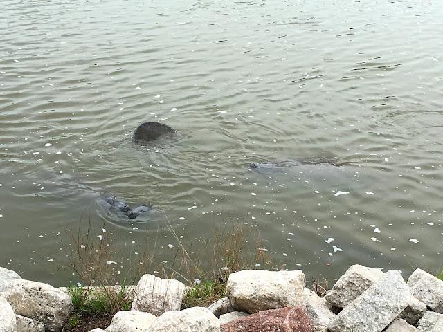 Manatees - Merritt Island, Florida