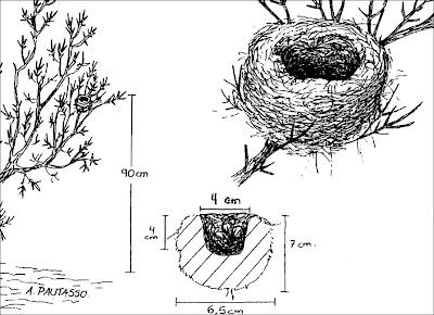 Cachudito pico amarillo Anairetes flavirostris