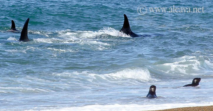 Orcas de Punta Norte - Vivir entre las orcas - lobitos marinos en la frontera