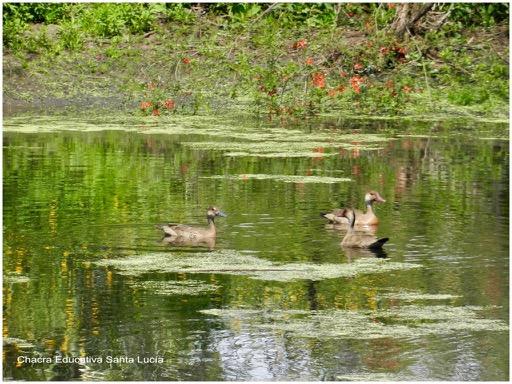Los patos silvestres visitan el tajamar a lo largo del año - Chacra Educativa Santa Lucía