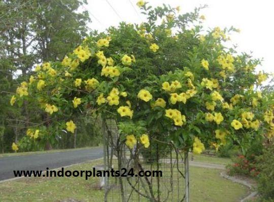 Allamanda cathartica indoor house plant image
