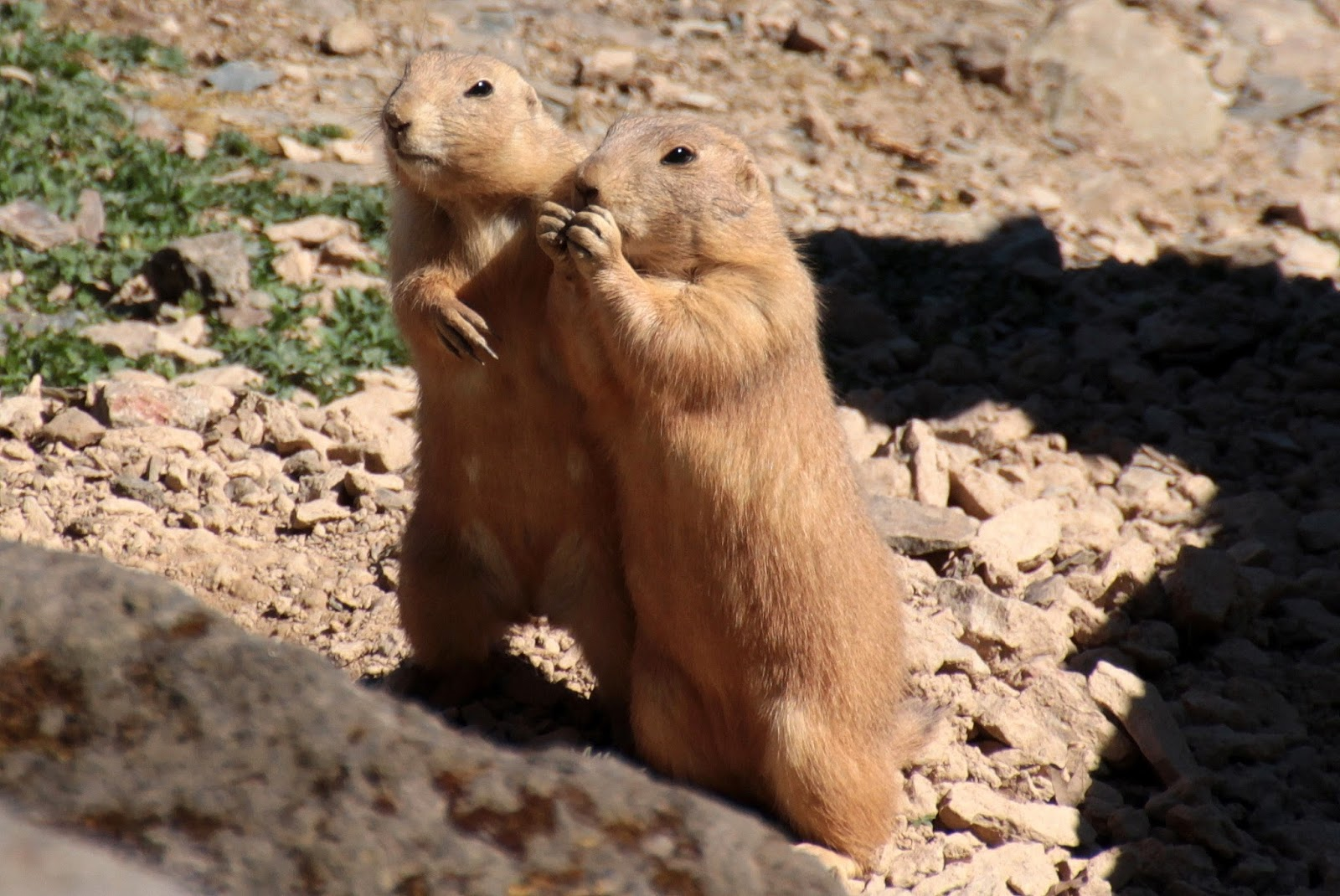 Picture of two black tailed prairie dogs.
