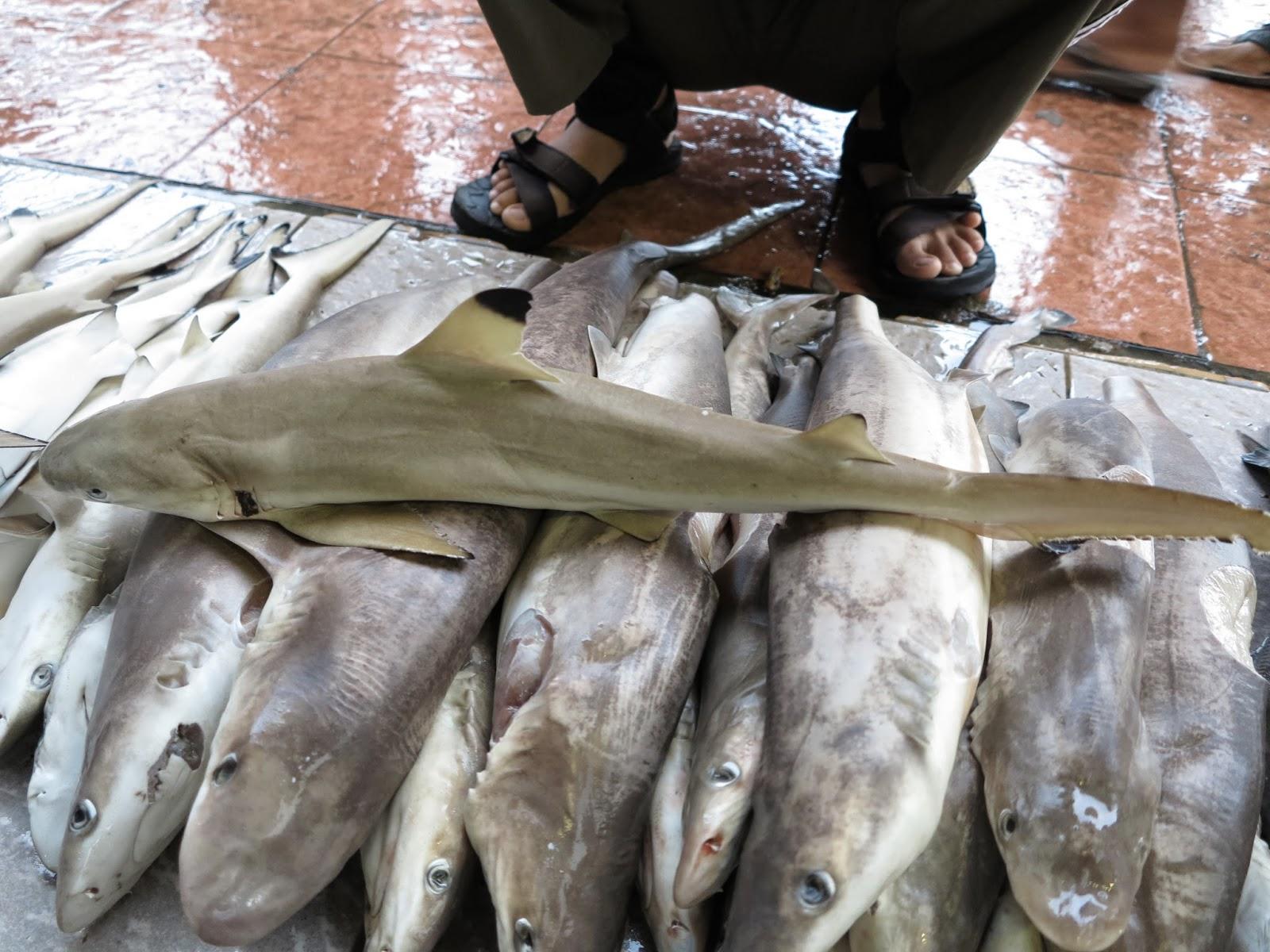 Perdagangan Hiu Di Sulawesi Selatan Part Ppi Paotere Adlien
