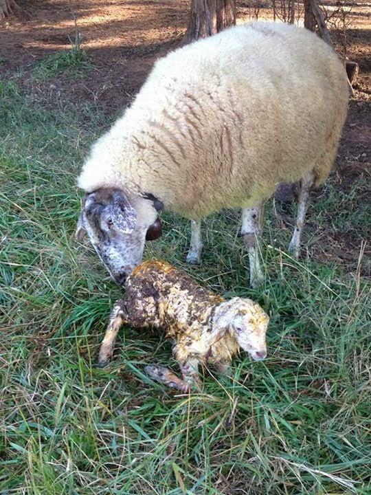 Awassi Sheep - Awassi Fat Tail Sheep Breeder