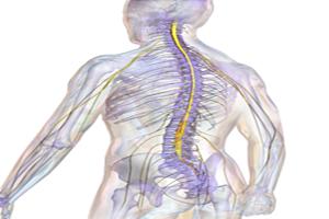 El sistema nervioso humano y sus tipos de nervios