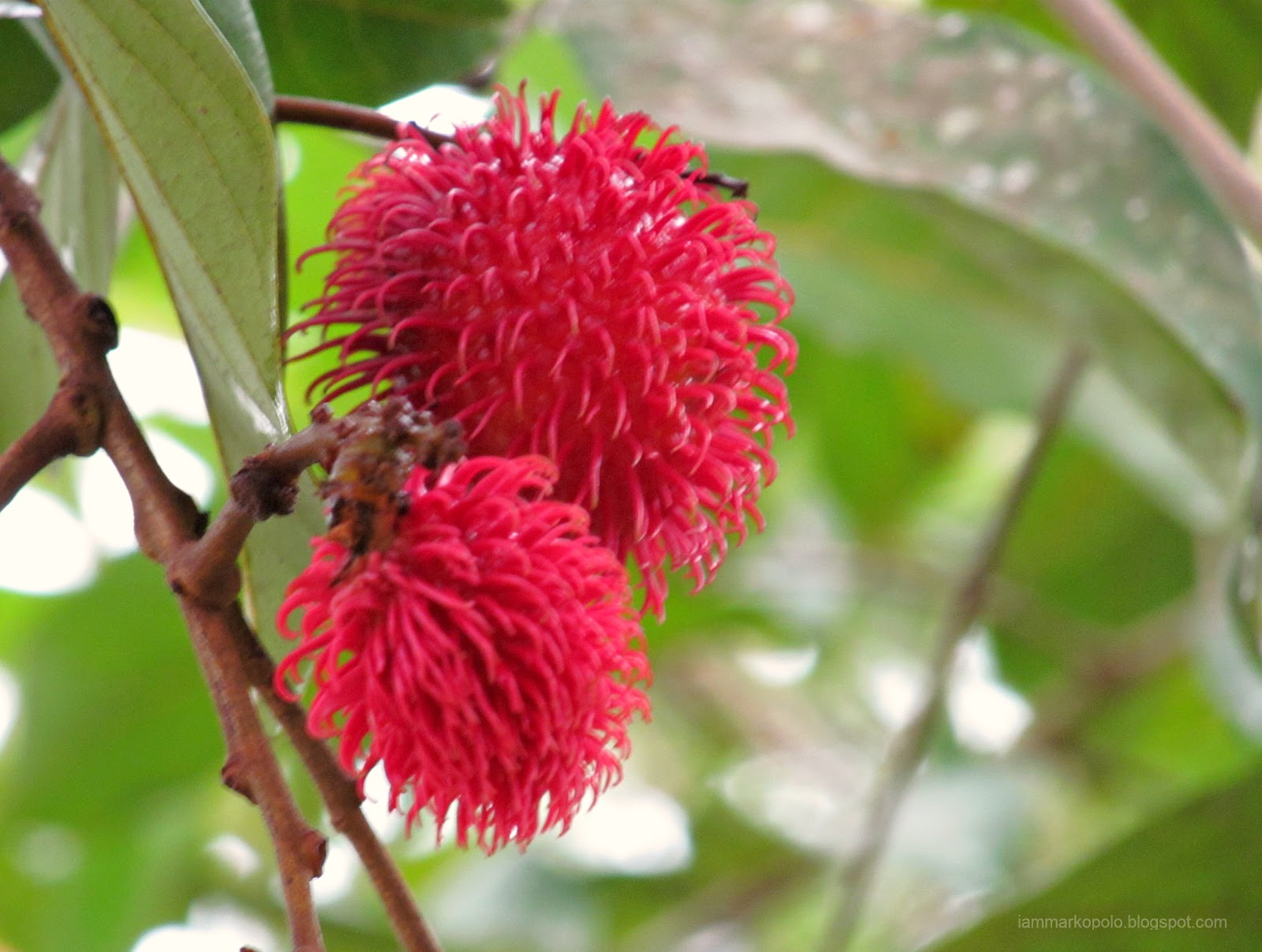 graveyard of thoughts and images: rambutan: an exotic fruit