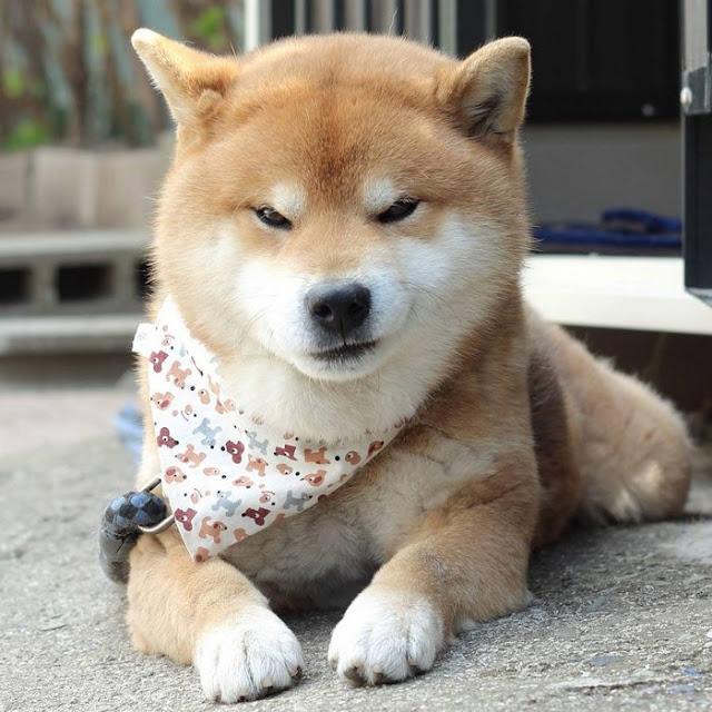 Kenalkan Ryuji, Anjing Shiba Asal Jepang Yang Punya Ekspresi Menarik