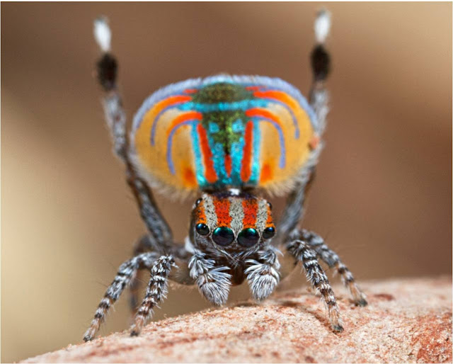 Peacock jumping spiders - photo#30