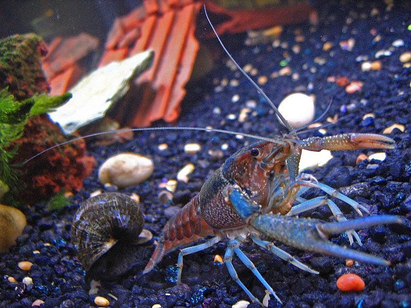 Crayfish, Freshwater Crayfish and Crayfish Plague ...