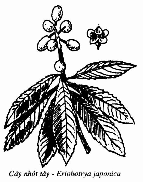 Hình vẽ CÂY NHÓT TÂY - Eriobotrya japonica Lindl - Nguyên liệu làm thuốc Chữa Ho Hen