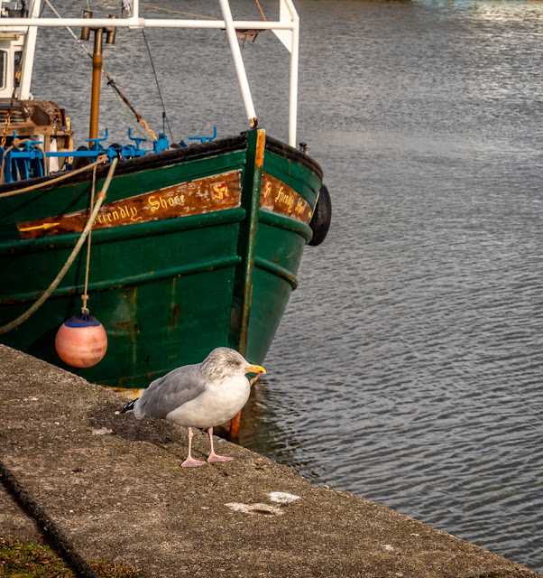 Photo of a seagull in Maryport Harbour