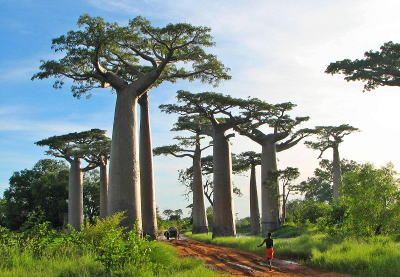 Árvore Baobab