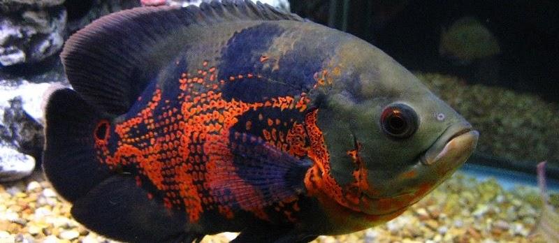 Penyakit Ikan Oscar dan Cara Mengatasinya