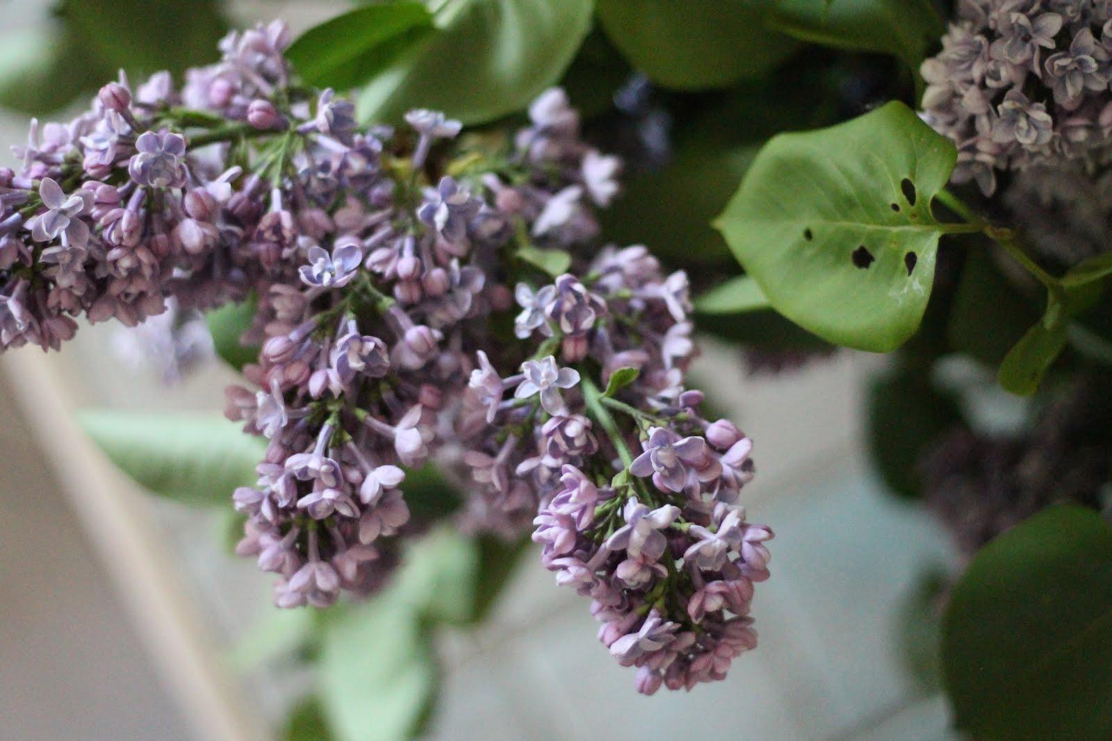 fleurs-arbre-photo-lilas