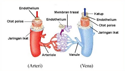 Inilah Perbedaan Vena dan Arteri (Pembuluh Darah)