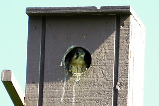 Free Garbage Can Storage Shed Plans: Mourning Dove Nesting ...