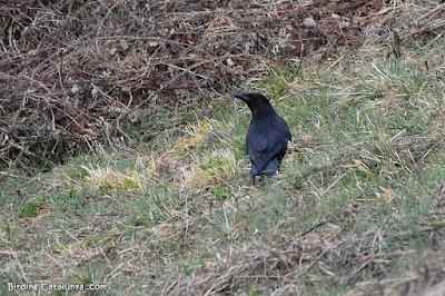 Cornella negra (Corvus corone)