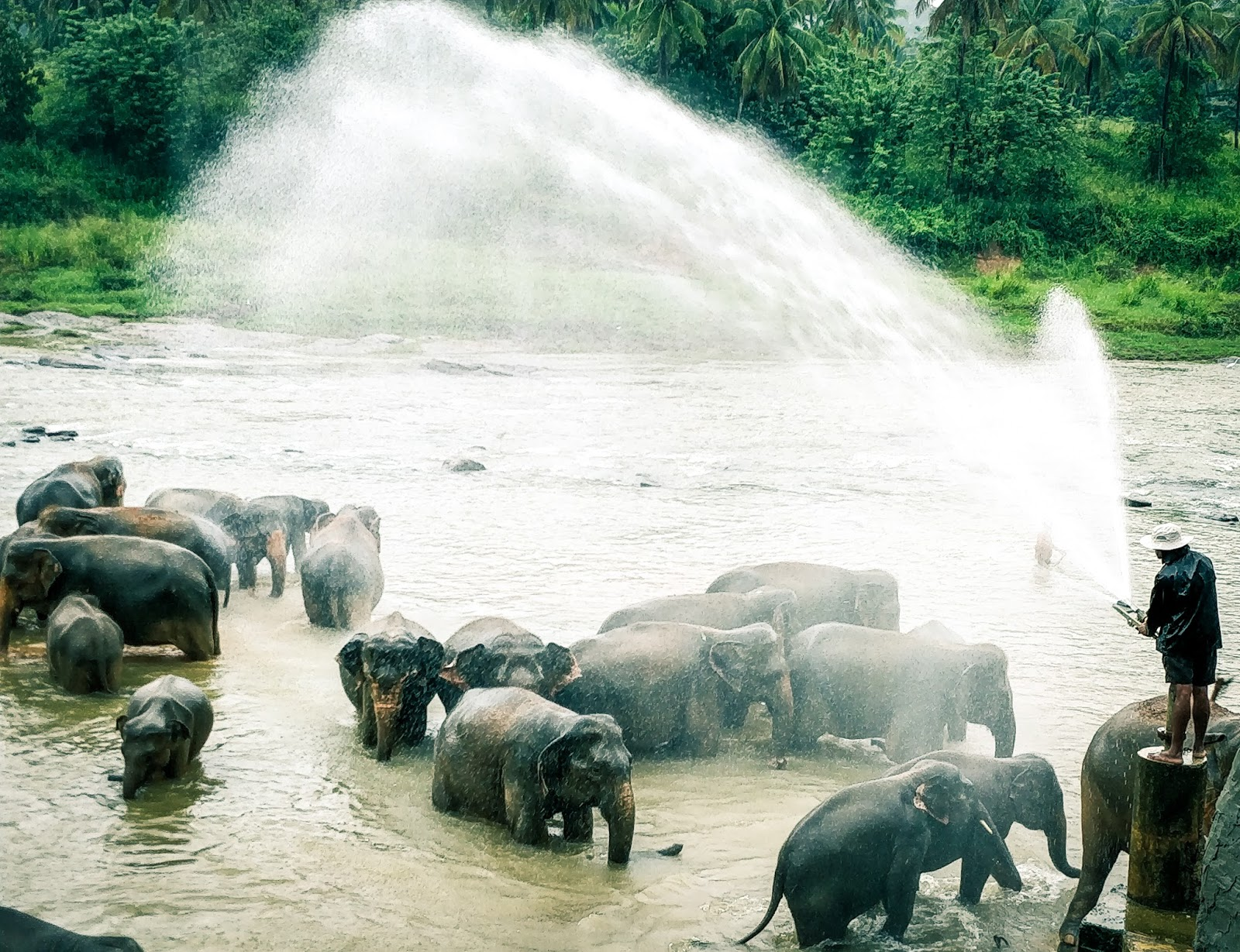 Elephants having a bath at the Pinnawala Elephant Orphanage, Sri Lanka