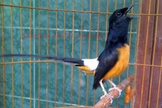 Ciri-Ciri Burung Murai Batu Kalimantan, Informasi Ciri-ciri dan Gambar Murai Batu Borneo, CARA MUDAH MEMBEDAKAN MURAI BATU KALIMANTAN
