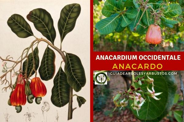 El Anacardo, Anacardium occidentale, de porte arbóreo de hasta 15 metros de altura.