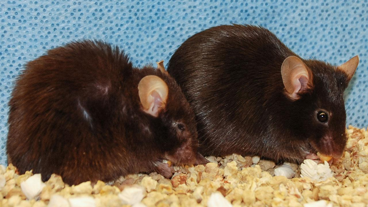 Suicide of aging cells prolongs life span in mice
