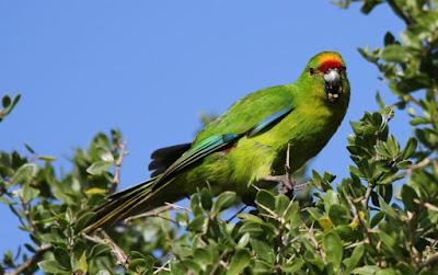Chatham Parakeet