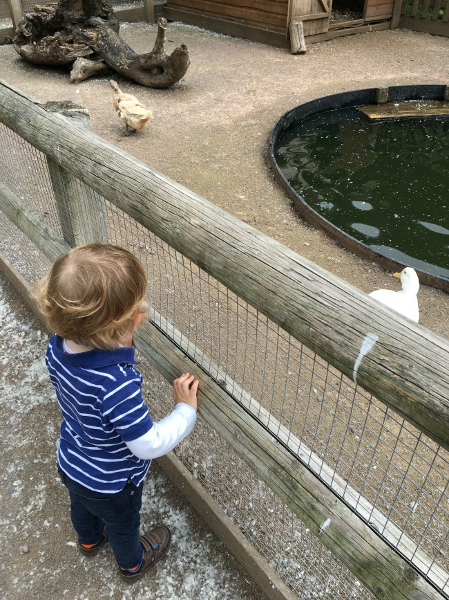Walnut-tree-farm-park-A-Toddler-looking-at-ducks