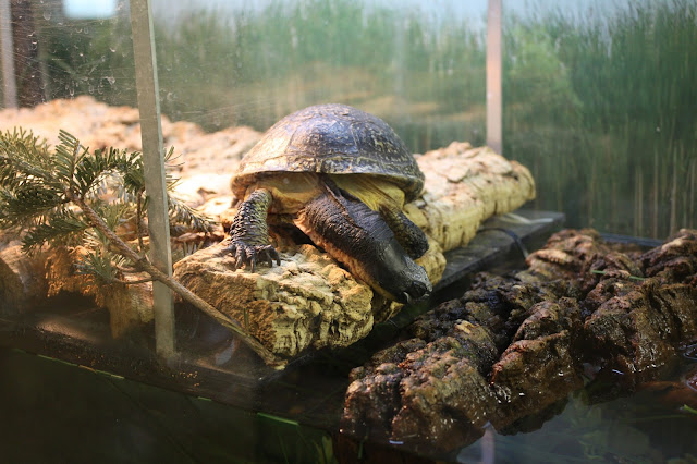Blanding's turtle at Willowbrook Nature Center in Illinois