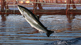 atlantic salmon farming, atlantic salmon farm pen