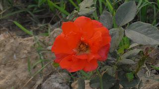 Rose Flower in National Rose Garden Delhi 2086